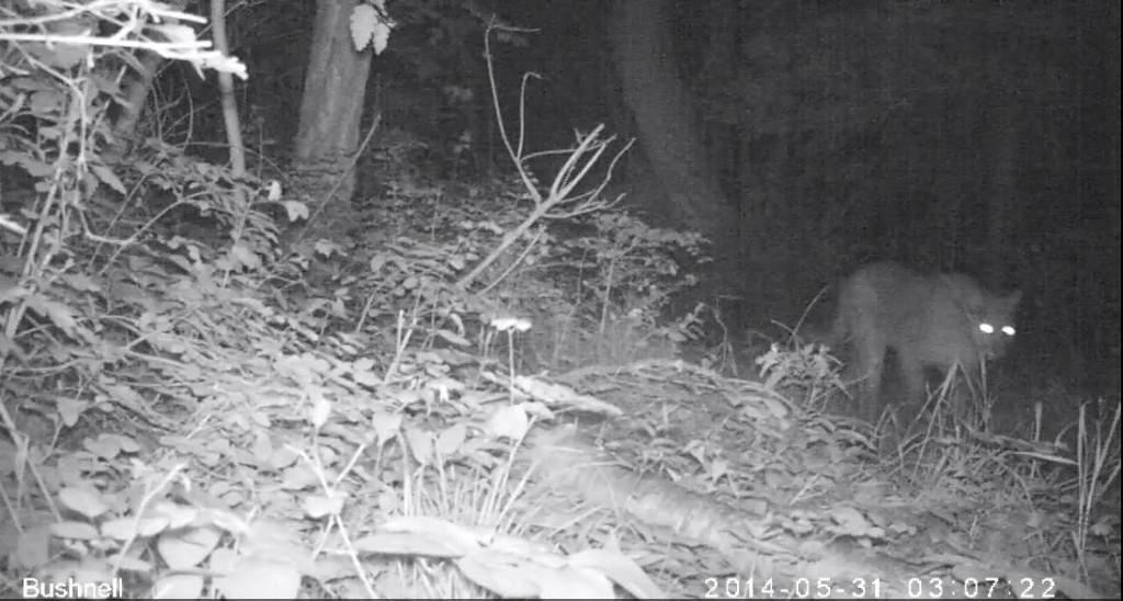 Mountain Lion trailcam