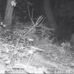 Mountain Lion trailcam