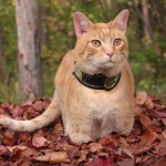 Autumn Wessie cat harness