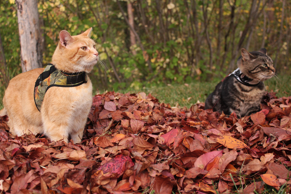 Wessie and Forest in Petoodles cat harness