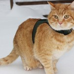 Wessie wears a Petoodles harness while standing on the snow.