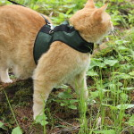 Cat wearing green harness stands amidst greenery